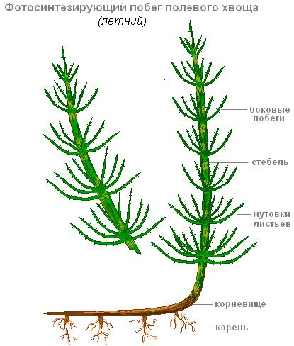 """Конспект урока биологии в 5 классе """"Плауны, хвощи и папоротники"""""""